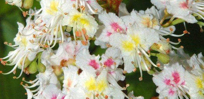 Die Kastanienblüte als Signal