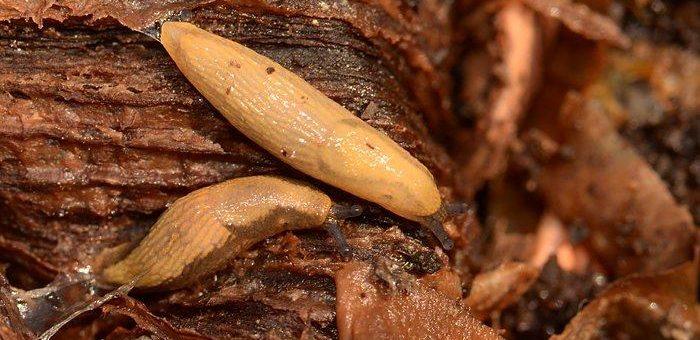 Mit kleinen Würmern gegen Nacktschnecken