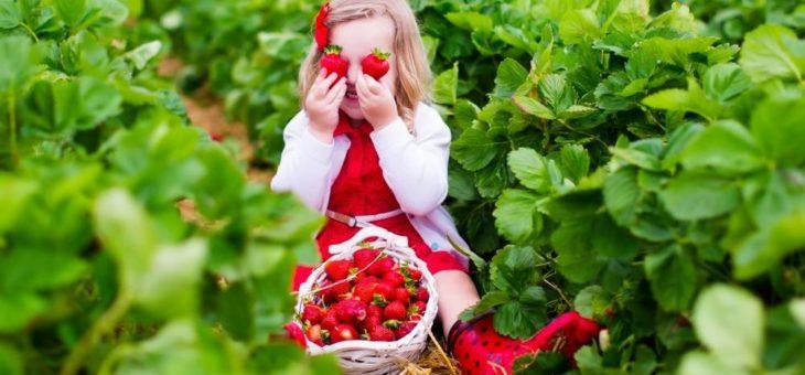 So gelingt der eigene Anbau von Erdbeeren