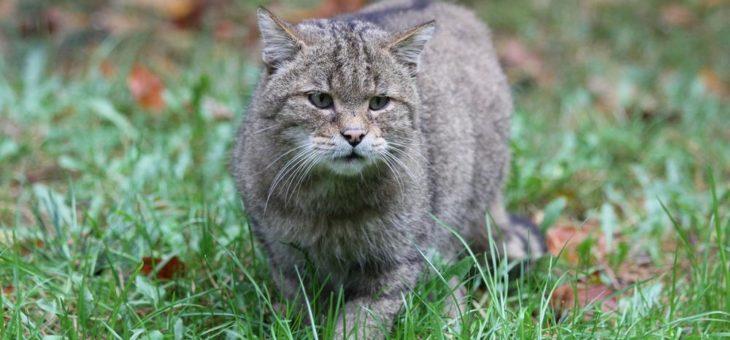 Die Europäische Wildkatze – eine scheue Waldbewohnerin