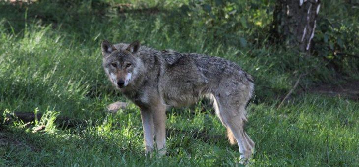 Abendliche Tour zu Wolf, Luchs & Co.