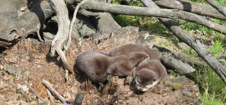 Abkühlung für die Otter im SEA LIFE Oberhausen
