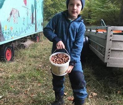 Eichelernte erfolgreich – Forstleute im Solling hatten fleißige Helfer