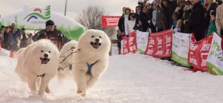 Leider zu milde Temperaturen – Oberharz Schlittenhunde Adventure fällt aus!