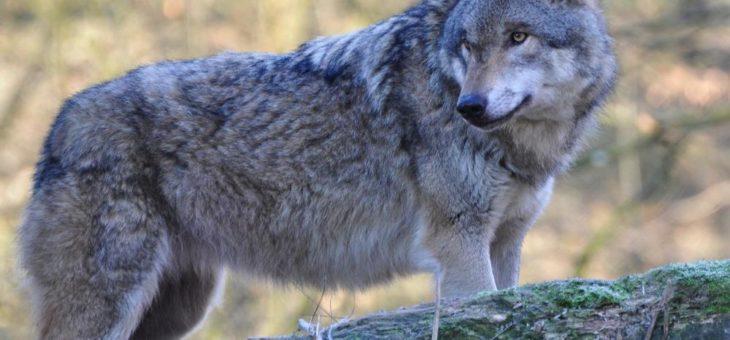 Politik schießt beim Wolf über das Ziel hinaus!