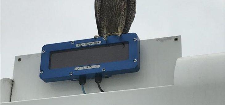 Airport-Falken sind schon flügge