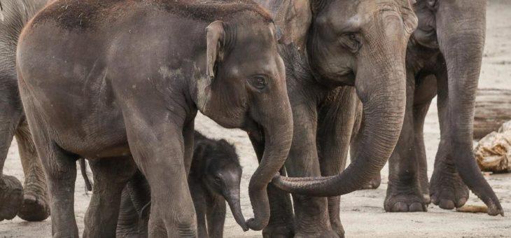 Kleine Elefanten-Kuh im Kölner Zoo geboren