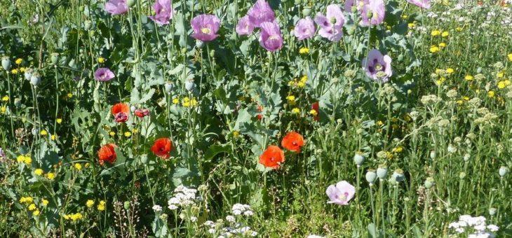 Blumen und Gräser statt Rasen: Blühwiesen in Nordhausen