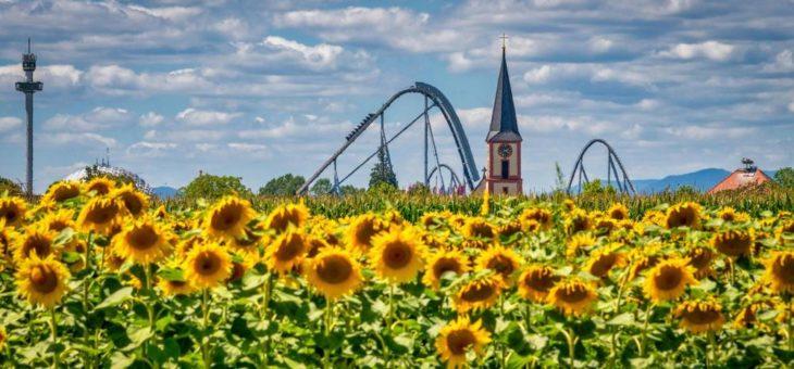 Leuchtende Sonnenblumen vor den Toren des Europa-Park