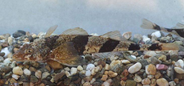 Fischarten im Mittelmeerraum durch Wasserkraftboom gefährdet