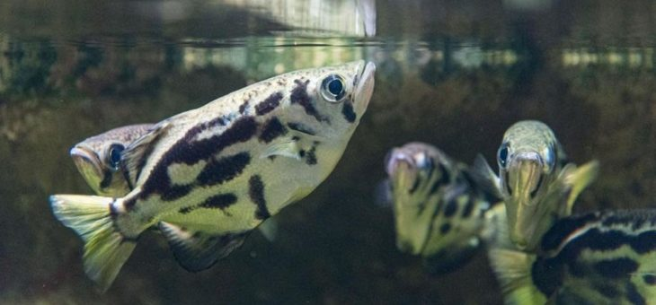 Der Fisch, der an Land jagt: Neue Schützenfische im Zoo Basel