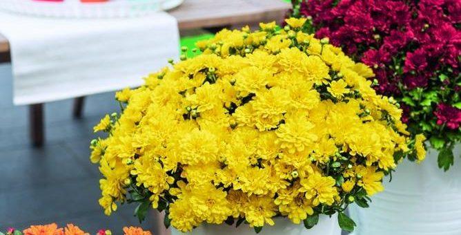 Vitamum-Gartenchrysanthemen: Neue attraktive Sorte der Ditto-Familie in strahlendem Gelb